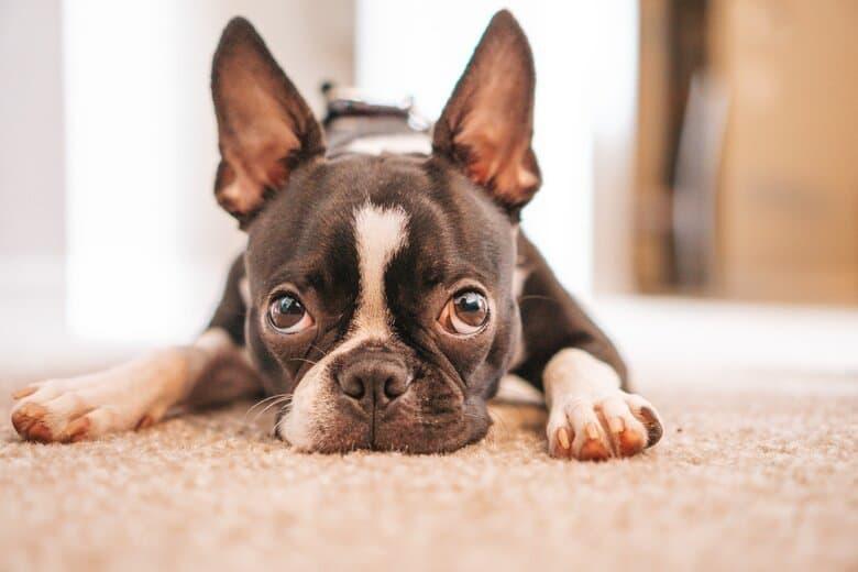 Boston terrier lays on carpet