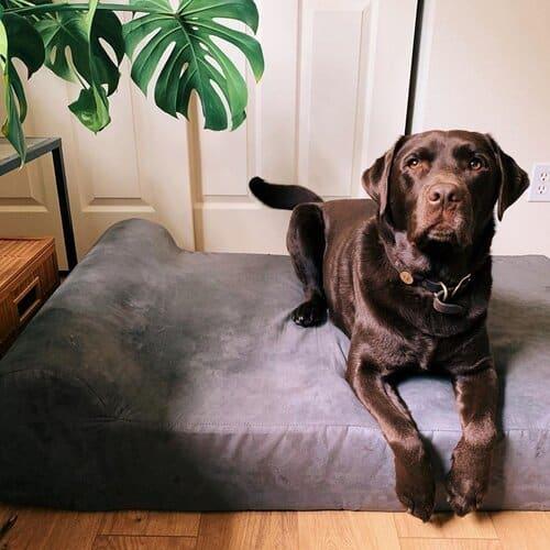 Black lab lays on Big Barker Bed
