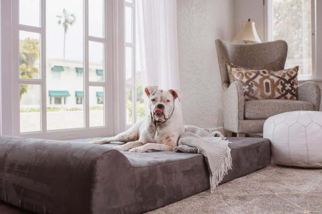 White dog lays on big barker bed