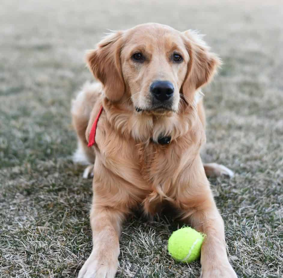Golden Retriever pup playing with a tennis ball in the yard